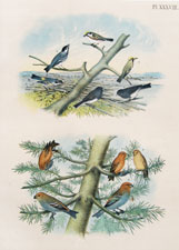 Chestnut-sided Warbler, Black-polled Warbler, Yellow-rumped Warbler, Snow-bird, Red or American Crossbill