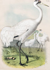 The White or Whooping Crane