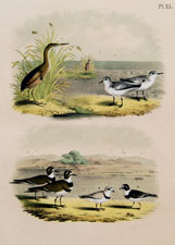 Least Bittern, Ruddy Plover, Killdeer Plover, Piping Ringed Plover, Ring-neck Plover