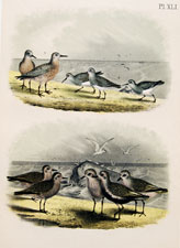 Red-breasted Sandpiper, American Dunlin, Golden Plover, Black-bellied Plover,