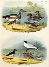 Widgeon, Teal, Snipe, Thrush