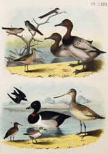 Canvasback duck, martin, swallows