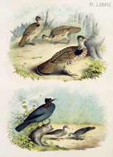 Ruffed Grouse, pheasant partridge, pigeon dove