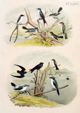 Flycatchers, Shrikes Martins
