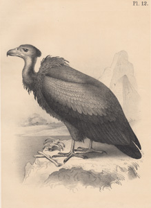 The Brown Vulture