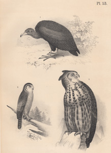 The Turkey Buzzard, The Hawk Owl, The Great Horned Owl