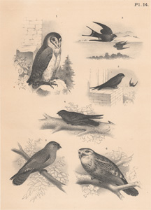 The Barn Owl, The Chimney Swallow, The Tower Swift, The Night Shade, The Oil Bird, The Giant Owl