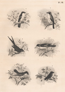 The Sentinel Butcher Bird, The Flute Shrike, The Magpie Shrike, The King Crow, The Wood Swallow Shrike, The King Bird