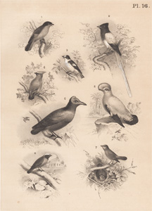 The Red Bird, The Paradise Fly-snapper, The Collared Fly-catcher, The Waxwing, The Cock of the Rock, The Nightingale, The Garden Red Start