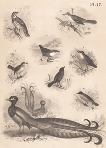 The Song Thrush, The Mocking Bird, The Red-headed Tattling Thrush, The European Water Ouzel, The Nurang, The Fire Ehe, The Lyre Bird, The Sparrow-hawk Grassmonk