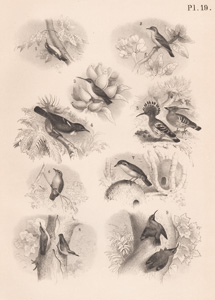 The Banana Twit, The Abu Risch, The True Hanging Bird, The Poe, The Common Hoopoe, The Red-oven Bird, The European Nuthatch, The Alpine Wall-creeper