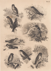 The Pine Cross-bill, The Hooked Bullfinch, The Chaffinch, The Domestic Sparrow, The Cherry Finch, The Cardinal Grosbeak, The Ornate Tanager