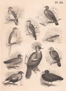 The Parrot Dove, The Stock Dove, The Passenger Pigeon, The European Turtle Dove, The Sparrow Pigeon, The Partridge Dove, The Common Bronze-wing, The Collared Dove, The Crowned Dove, The Toothed Dove
