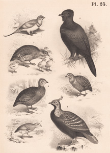 The Large Pin-tailed Grouse, The Capercailzie, The Common Partridge, The Capuere Partrdige, The Common Quail, The African Bush Quail, The Impeyan Pheasant