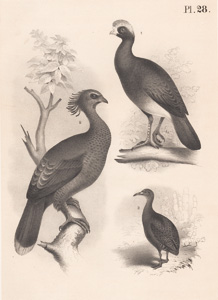 The Crested Curassow, The Supercilious Guan, The Tataupa