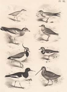 The Cream-colored Desert Runner, The Fallow Swallow, The Stone Curlew, The Golden Plover, The Peewit, The Turnstone, The Pied Oyster-catcher
