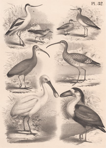 The Sanderling, The Red Phalatrope, The Greenshank, The Scooping Avocet, The Long-billed Curlew, The Scarlet Ibis, The Common Spoonbill, The Boatbill