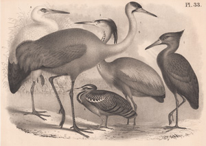 The Hammerhead, The House Stork, The Blue Heron, The Peacock Heron, The Common Crane