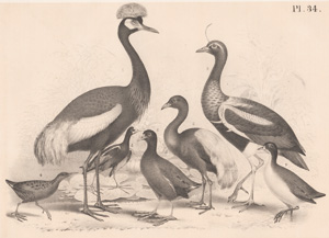 The Peacock Heron, The Agami, The Horned Screamer, The Water Rail, The Chilian Jacana, The Common Gallinule, The Picapase