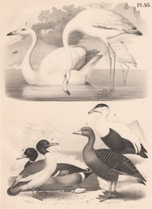 The Flamingo, The Singing Swan, The Gray Goose, The Wild Duck, The Eider Duck, The Green-headed Goosander