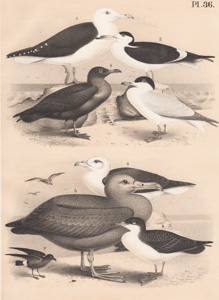 The Caspian Tern, The Black Skimmer, The Great Black-backed Gull, The Common Skua, The Sooty Black Albatross, The Fulmar Petrel, The Common Storm Petrel, Mank's Shearwater