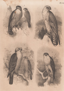 The Hunting Falcon, The Peregrine Falcon, The Laughing Hawk