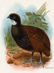 Black-breasted Partridge