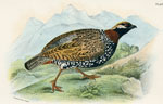 Common Francolin