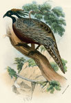 Common Koklass Pheasant