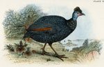 Black-collared Crested Guinea Fowl