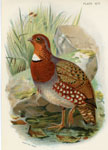 Mandelli's Tree Partridge