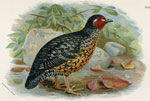 Manipur Painted Bush-Quail