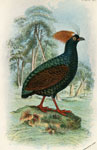 Red-crested Wood Partridge